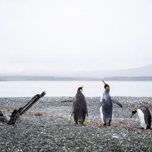King Penguins on a cloudy day near Ushuaia, the capital of Tierra del Fuego