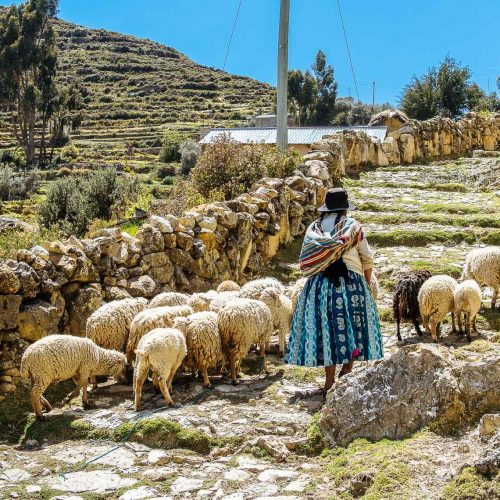 Sheeps on the Isla del Sol in Bolivia