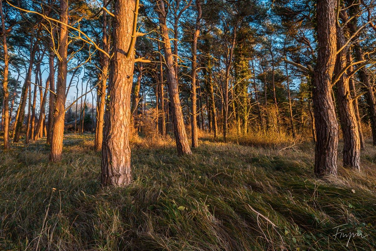 Bäume im Wald bei Sonnenuntergang auf Rügen